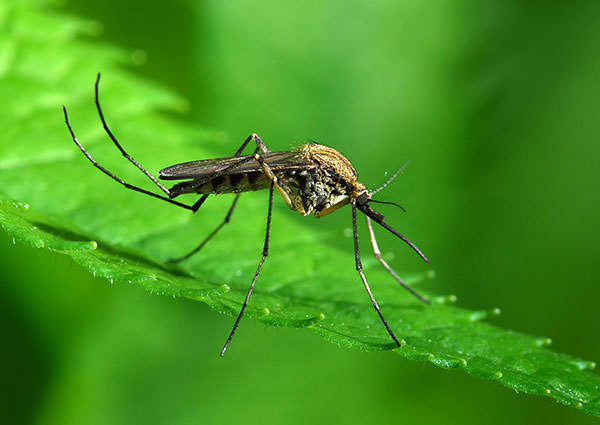 Human Scents That Attract Mosquitoes